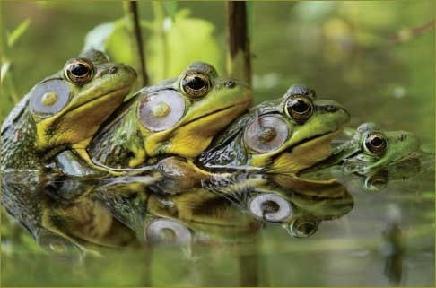 frogs_or